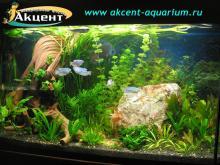Акцент-аквариум, аквариум 300л живые растения, гурами, дискус