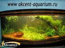 Акцент-аквариум, аквариум 250л живые растения, коряга неоны, гуппи, радужницы