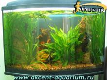 Акцент-аквариум, аквариум 180л живые растения скалярии