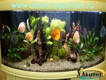 Акцент-аквариум, аквариум 350л живые растения дискусы