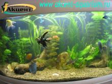 Акцент-аквариум,  аквариум 350л, живые растения, дскусы, скалярии, акулий барбус