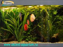 Акцент-аквариум, аквариум 350л живые растения, дискусы