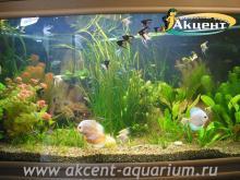 Акцент-аквариум, аквариум 800л живые растения, дискусы, скалярии