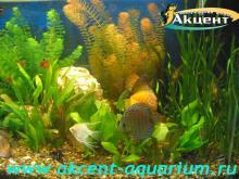 Акцент-аквариум, аквариум 180л живые растения, дискусы