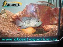 Акцент-аквариум, аквариум 400л нерест: бриллиантовая цихлозома, попугай