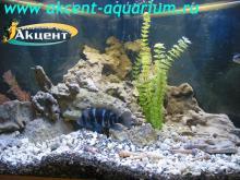 Акцент-аквариум, аквариум 170л цифотиляпия фронтоза