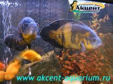Акцент-аквариум, аквариум 290л астронотус, попугаи