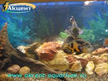Акцент-аквариум, аквариум 290л астронотус