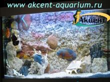 Акцент-аквариум, аквариум 350л псевдо-море внутренний фон астронотусы,  бриллиантовая цихлозома, попугаи