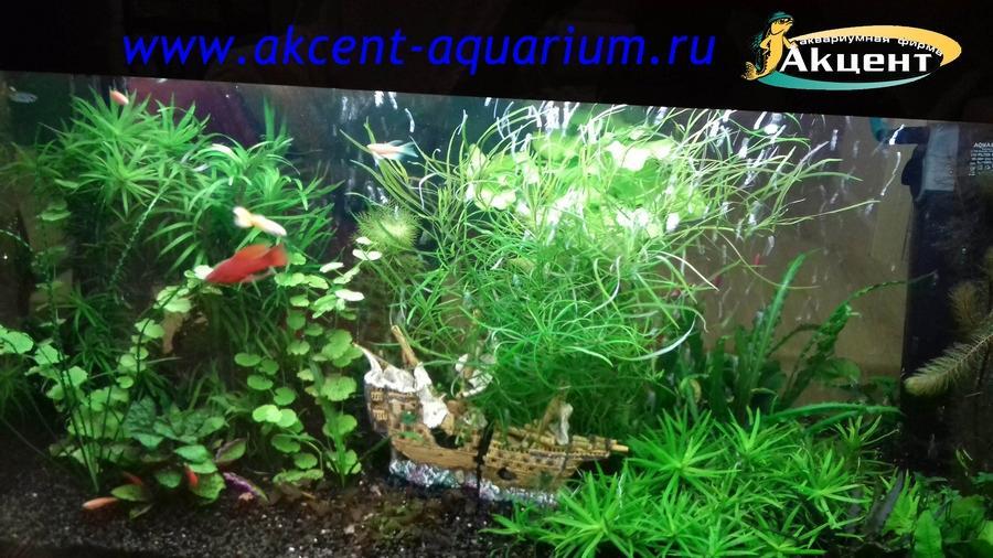 Акцент-аквариум, живые растения, меченосец, гуппи.
