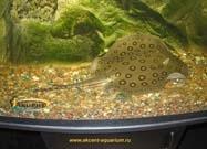 Пресноводные скаты-Акцент-аквариум скат моторо