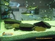 Акцент-аквариум пресноводный скат моторо