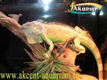 Акцент-аквариум. Игуана в террариуме